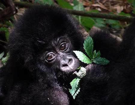 Vier afrikanische Berggorillas, einschließlich baby, getötet Blitzschlag