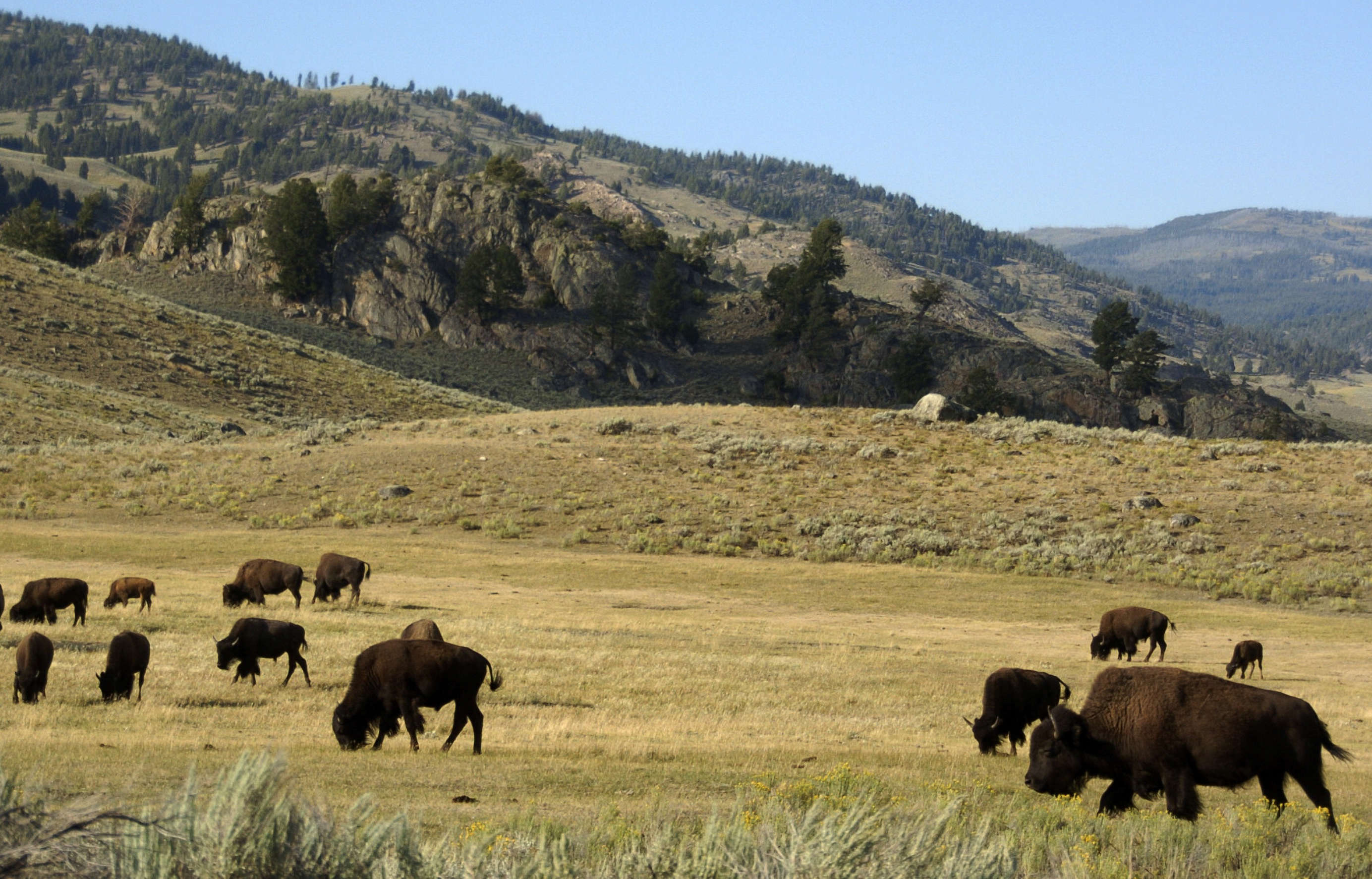 Hunts threaten population of Yellowstone bison, group says