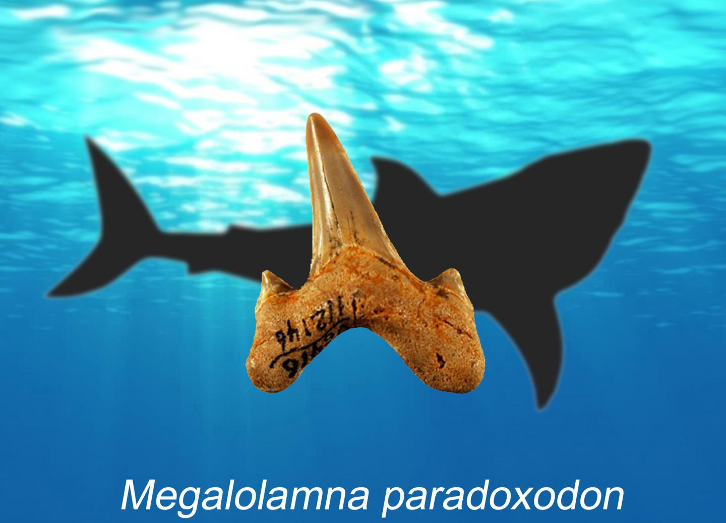 Ancient teeth lead researchers to prehistoric shark discovery