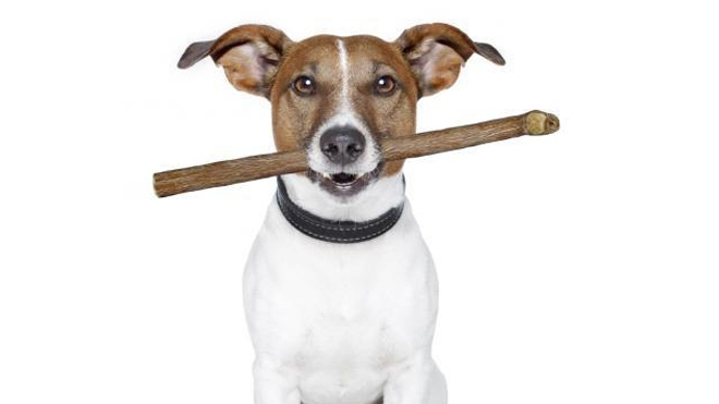Westlake Legal Group 660_DogTreat Florida vet removes stick from dog's mouth that was likely there for years, shelter says Nick Givas fox-news/us/us-regions/southeast/florida fox-news/odd-news fox-news/entertainment/genres/pets fox news fnc/us fnc article 74d42e1e-0ffa-50b6-9d6e-5587e9310cb6