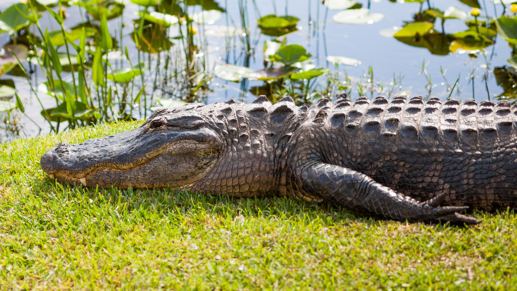 Florida man allegedly gave alligator beer, enticed reptile to bite him