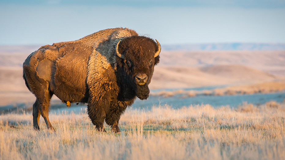 Westlake Legal Group Bison_iStock Hiker airlifted to hospital after bison attack at Utah park, was reportedly trying to warn friend Travis Fedschun fox-news/us/us-regions/west/utah fox-news/science/wild-nature fox news fnc/us fnc article 6dccfec3-81bb-5723-b960-f54a1154ed11