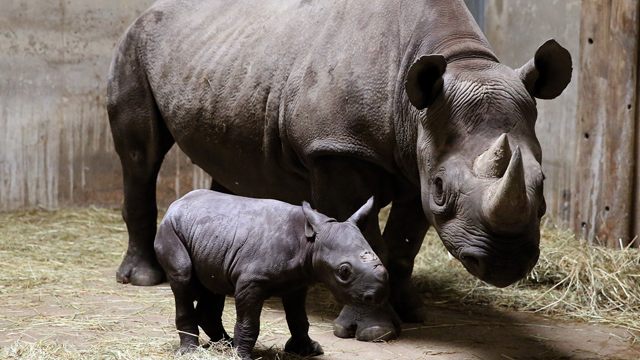 Feds could force Dallas hunting club to scrap rhino hunt auctioned for $350G