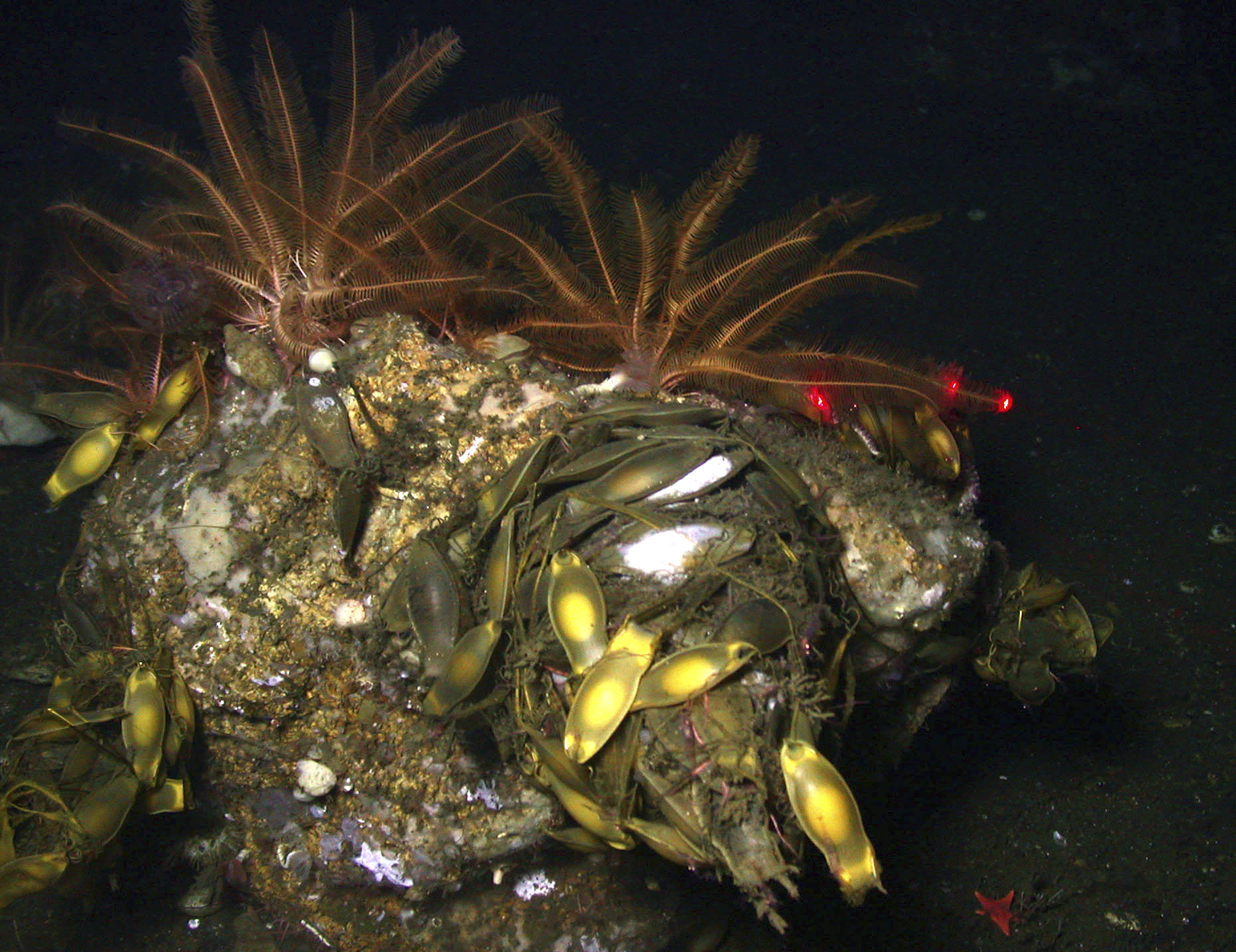 Federal scientists discover new coral species in underwater canyons off California's coast