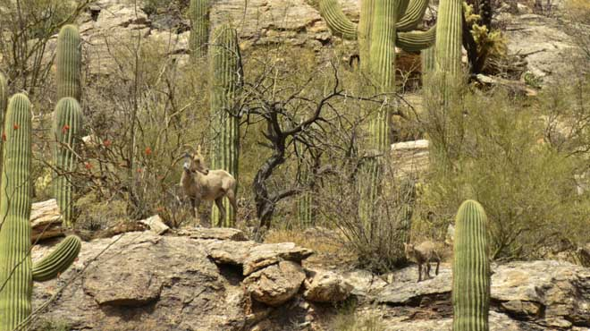 Deaths of bighorn sheep in Arizona spark controversy over conservation effort