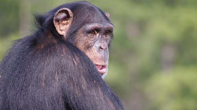 Researchers worry chimpanzee-killing bacterium could jump to humans next