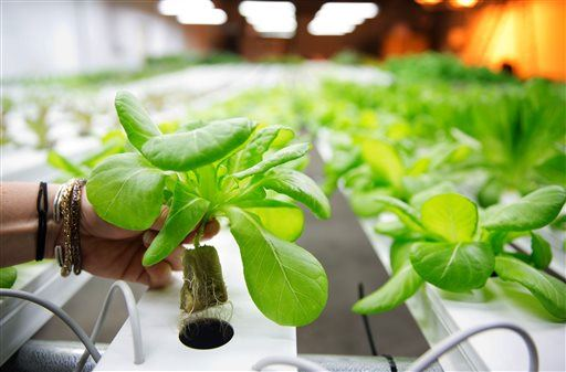 Farm run by robots will churn out 30,000 heads of lettuce a day