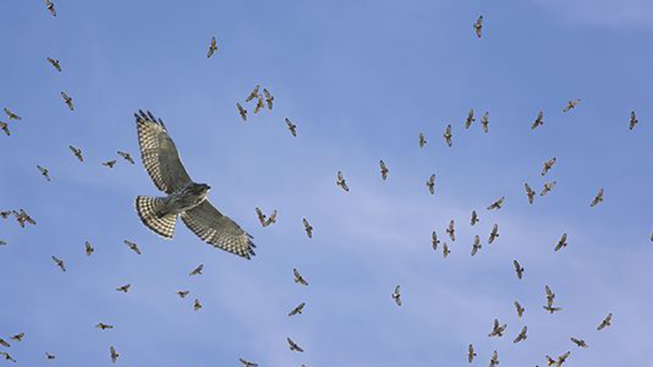 Michigan river sees 13,000 hawks, other predatory birds within 3-day span