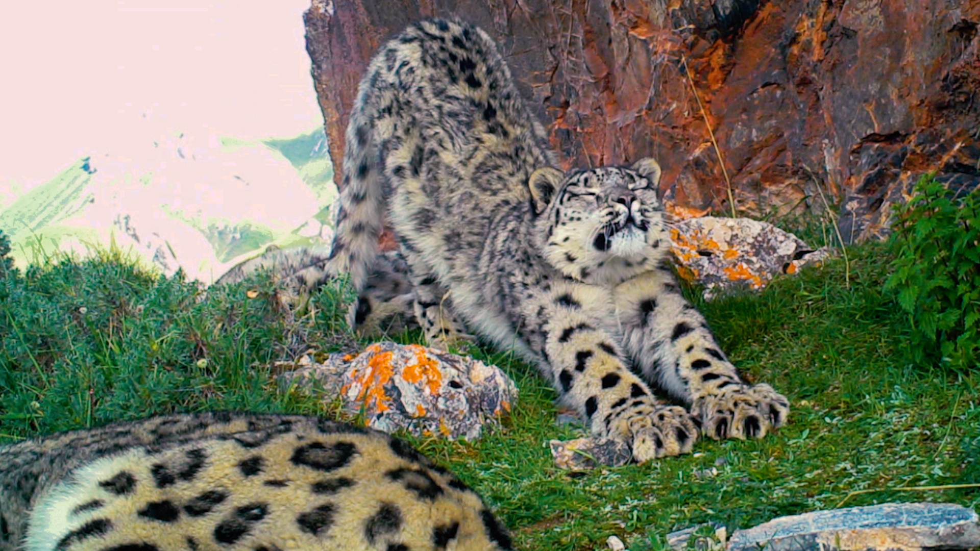 Rare treat: 3 snow leopards frolic and snuggle on camera