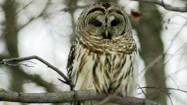 Federal wildlife officials plan to send hunters to kill barred owls in Northwest