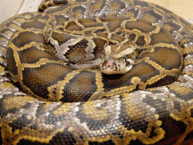 Python strangles man to death at Bali luxury hotel