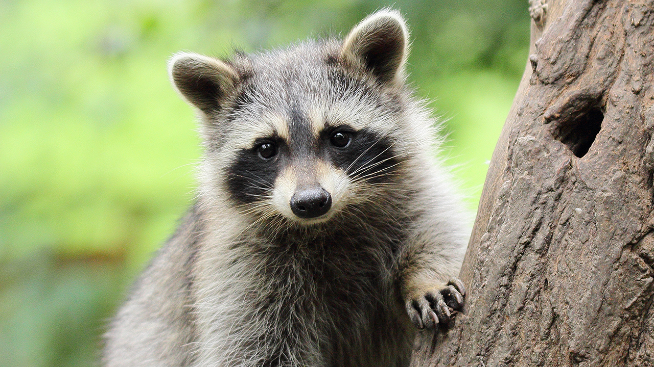 Westlake Legal Group Racoon-iStock New York woman nabbed while allegedly handing out baby raccoons fox-news/us/us-regions/northeast/new-york fox-news/science/wild-nature fox-news/health fox news fnc/science fnc David Aaro article 58e655c8-0ff5-5833-bb5f-4d31362b0c95