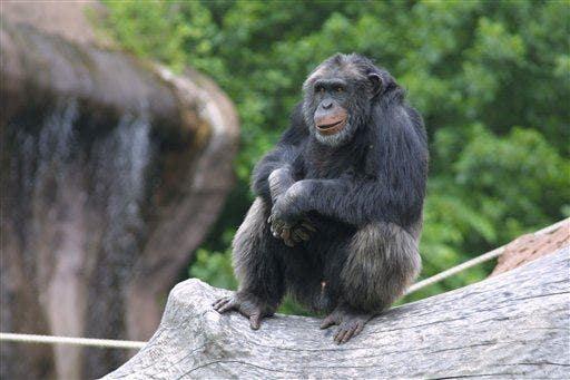 This chimp behavior is baffling scientists