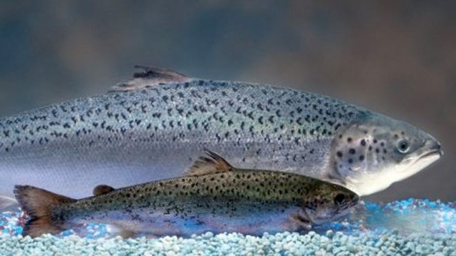 GMO salmon may soon hit food stores, but will anyone buy it?