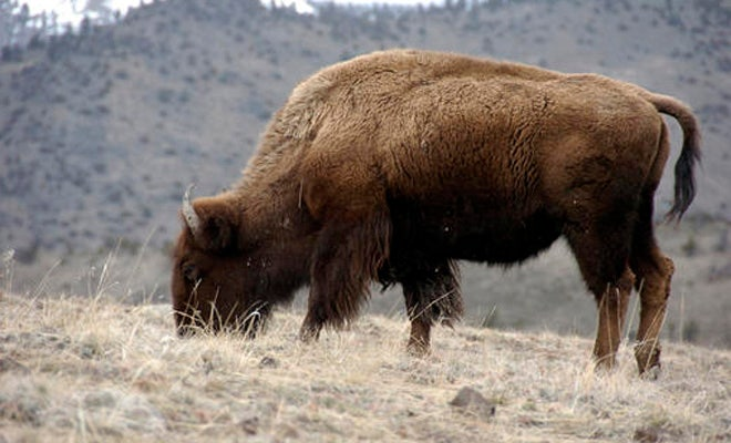 Obama signs legislation designating bison as national mammal