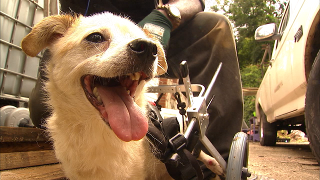 Army veteran's paralyzed dog gets new wheelchair