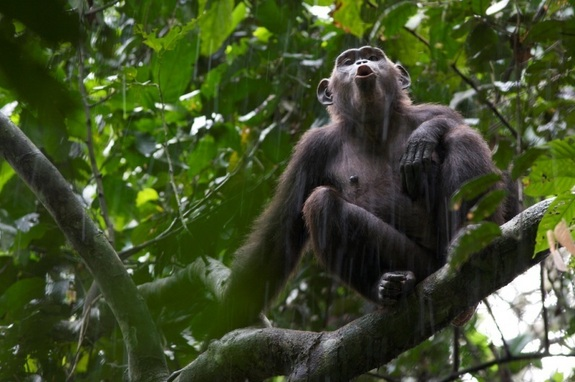 Chimps are naturally violent, study suggests