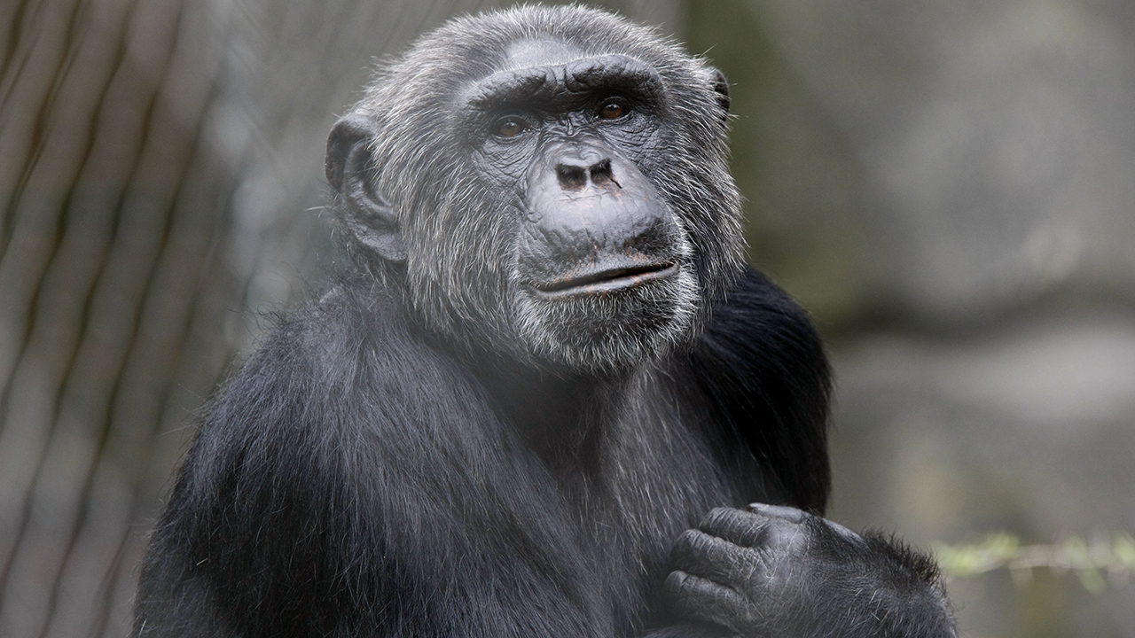 Search on for 'monkey' in Texas town after reports of primate swinging through trees, attacking residents: reports