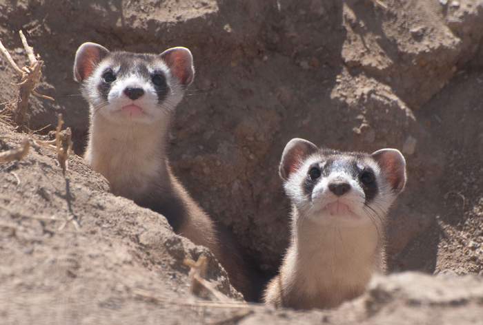 Drones could save endangered ferrets by dropping peanut butter-flavored vaccine pellets