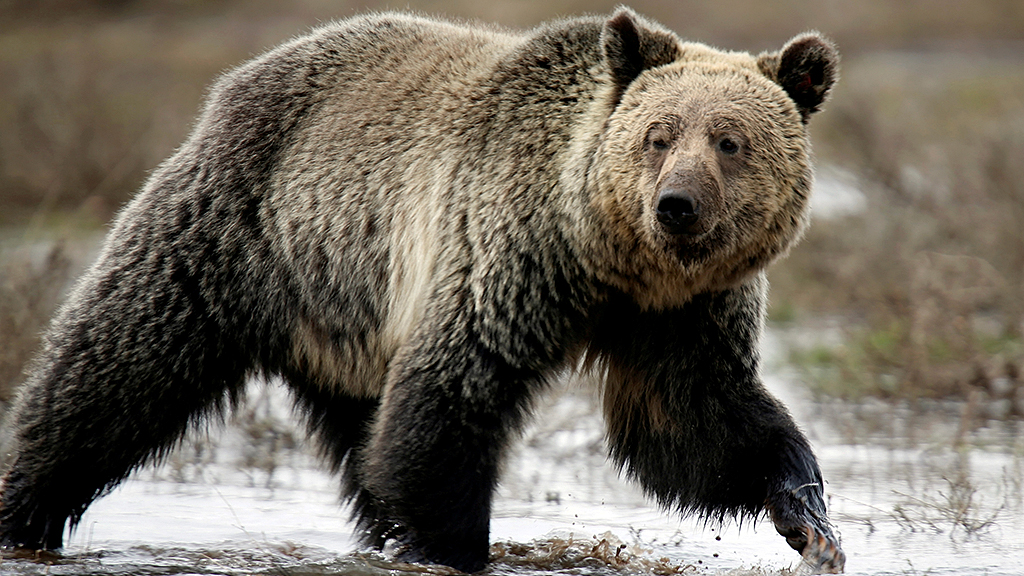 Bear attacks, injures 10-year-old boy at Yellowstone National Park