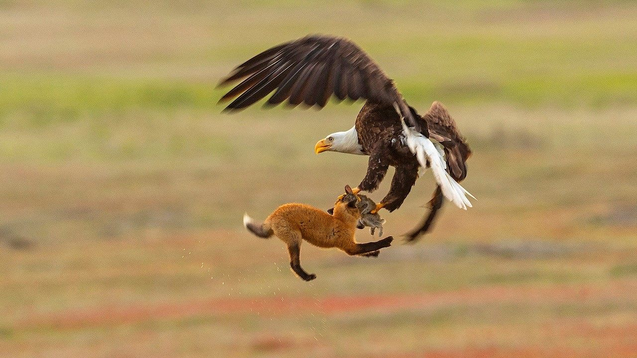 Eagle snatches fox holding rabbit in mouth in dramatic images