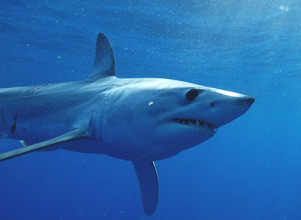 Mako shark travels 13,000 miles in less than two years