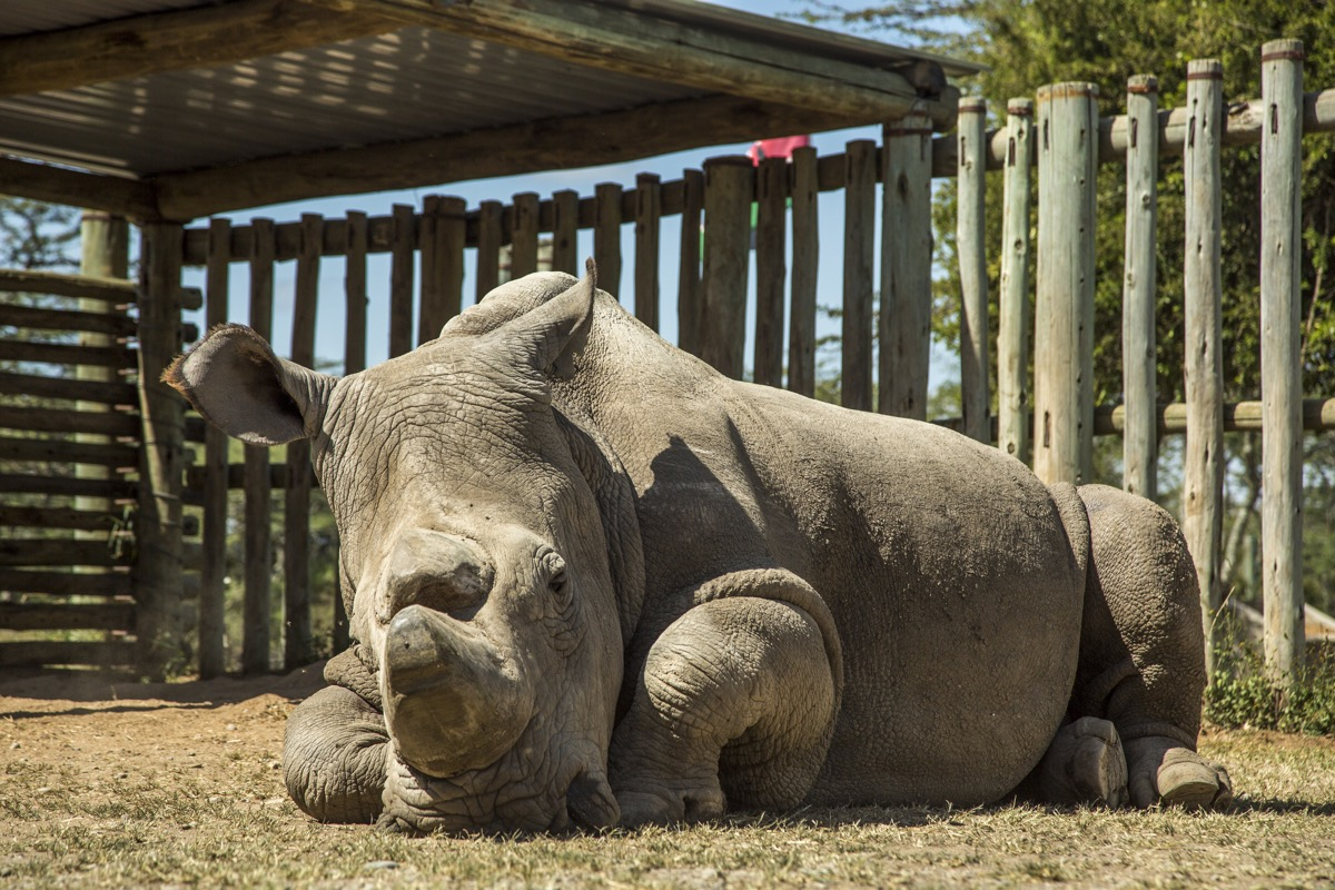 Scientists create northern white rhino embryos in milestone that could save the species from extinction