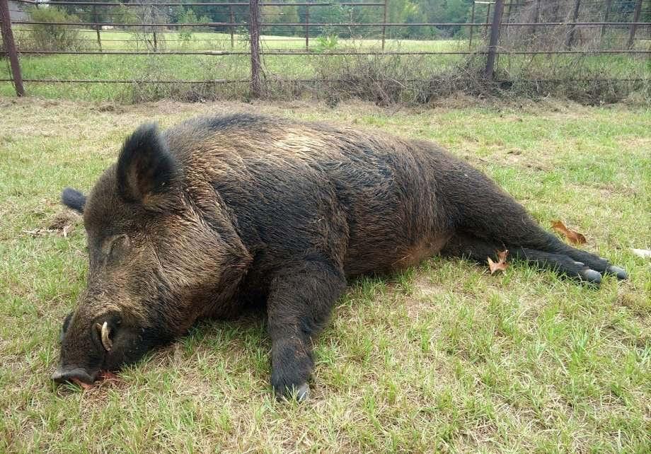 East Texas man takes down 416-pound wild hog in backyard