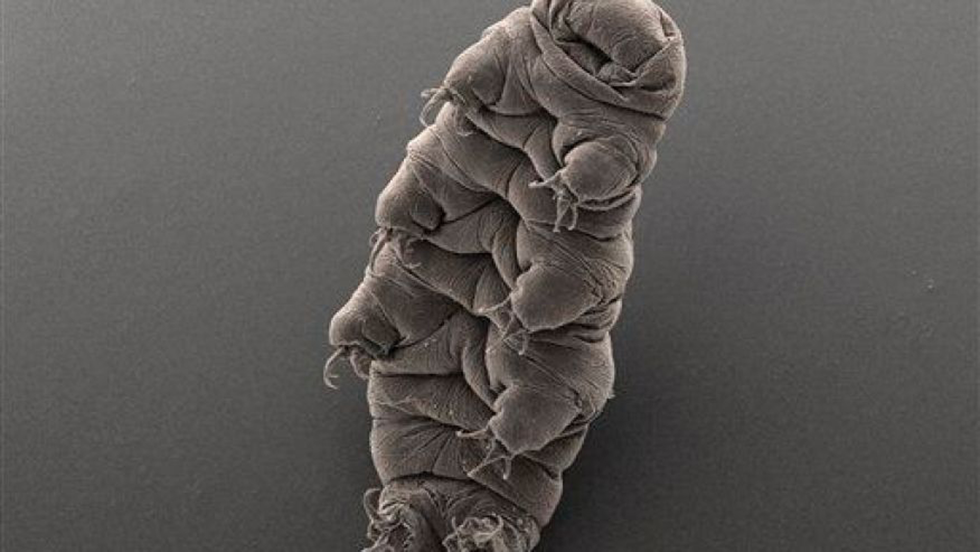Tardigrades could (maybe) survive a nuclear attack. And now we know how.