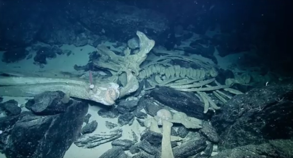 Rare 'whale fall' spotted by deep-sea scientists