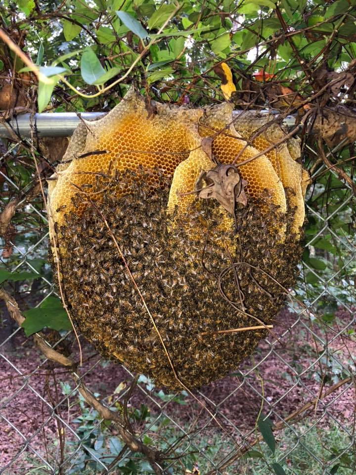 Extremely rare 'open' beehive in Virginia stuns wildlife expert