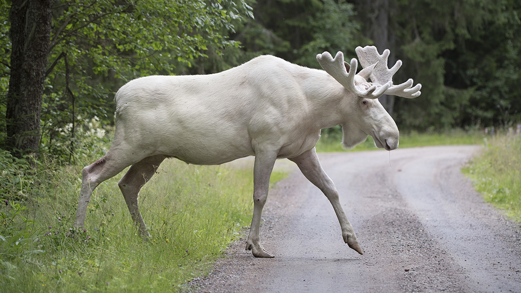 Couple spots rare white 'ghost' moose crossing highway