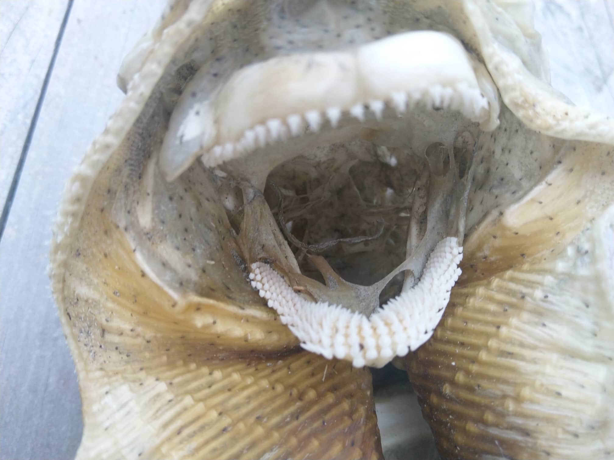 Mysterious sea creature draws 'alien' comparisons with its sharp teeth, spiky skin