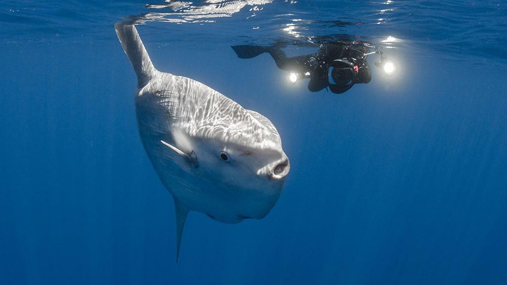 'Shark! Shark!' Huge sunfish off North Carolina coast confused for predator during open-water race