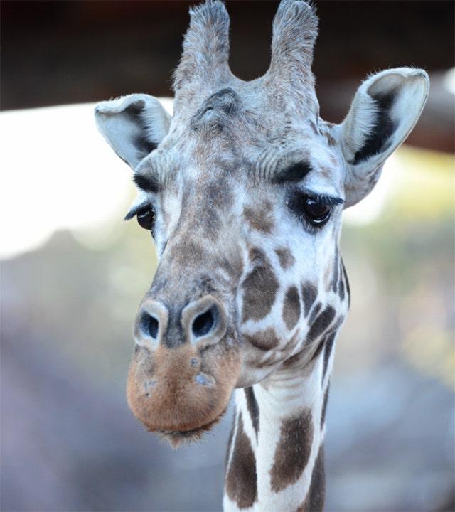 Tamu, oldest giraffe in North America, dies at Colorado zoo