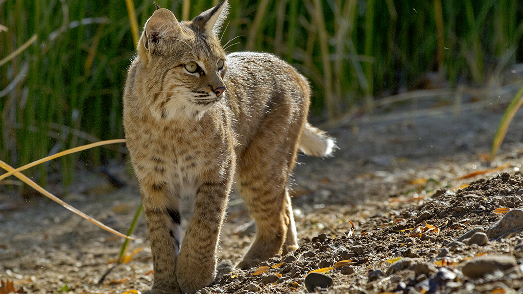 Montana fishermen catch live bobcat in fishing net on lake