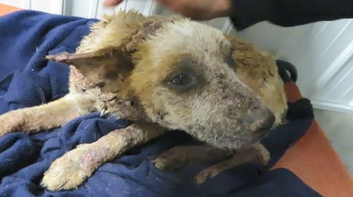 Dog in Illinois requires pain pills for horrific mange infection, rescue center says