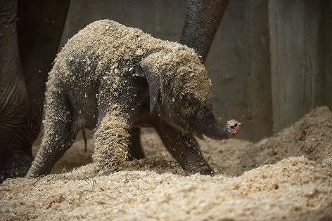 Asian elephant born at Ohio zoo was conceived via artificial insemination, officials say