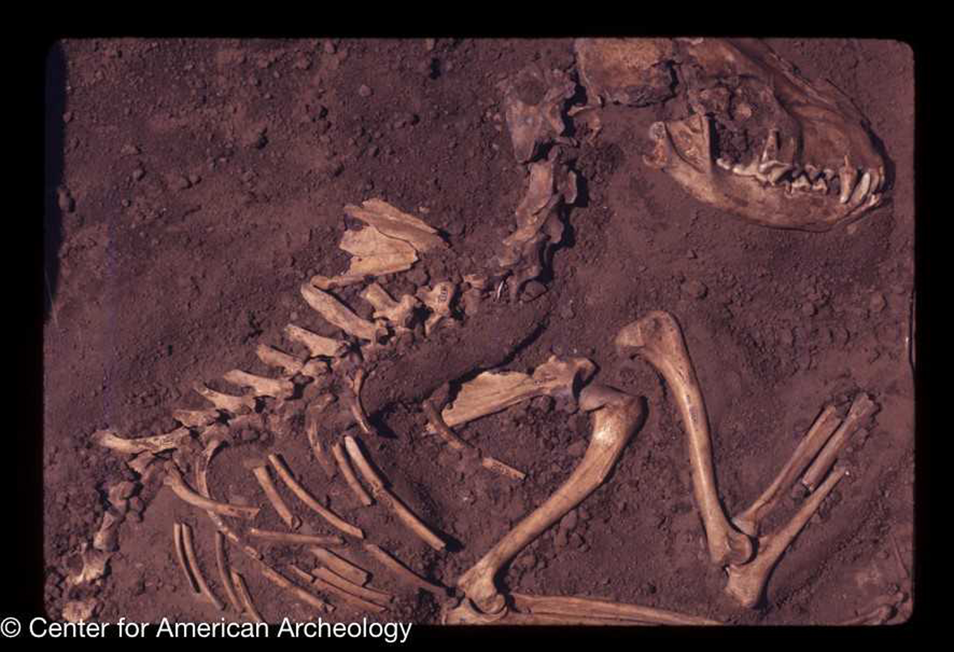 Dogs were domesticated in North America 10,000 years ago, study says