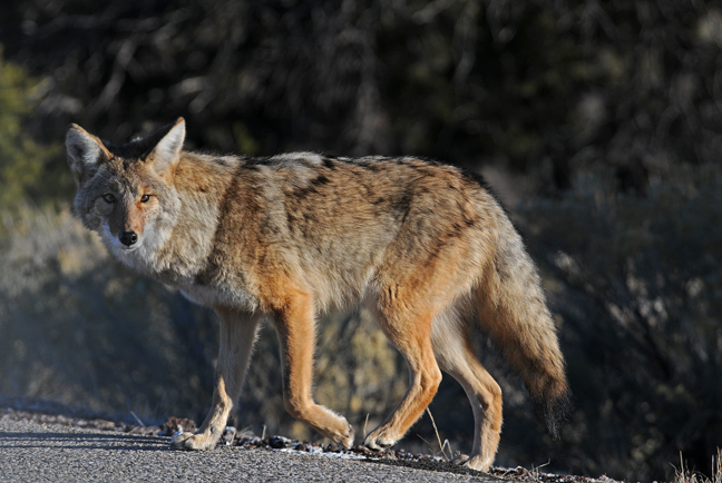 Florida man attacked by aggressive coyote, fights off with coffee cup