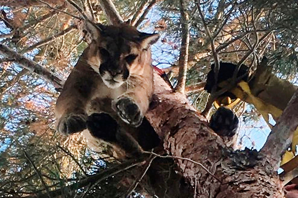 Firefighters save cougar from tree in stunning rescue