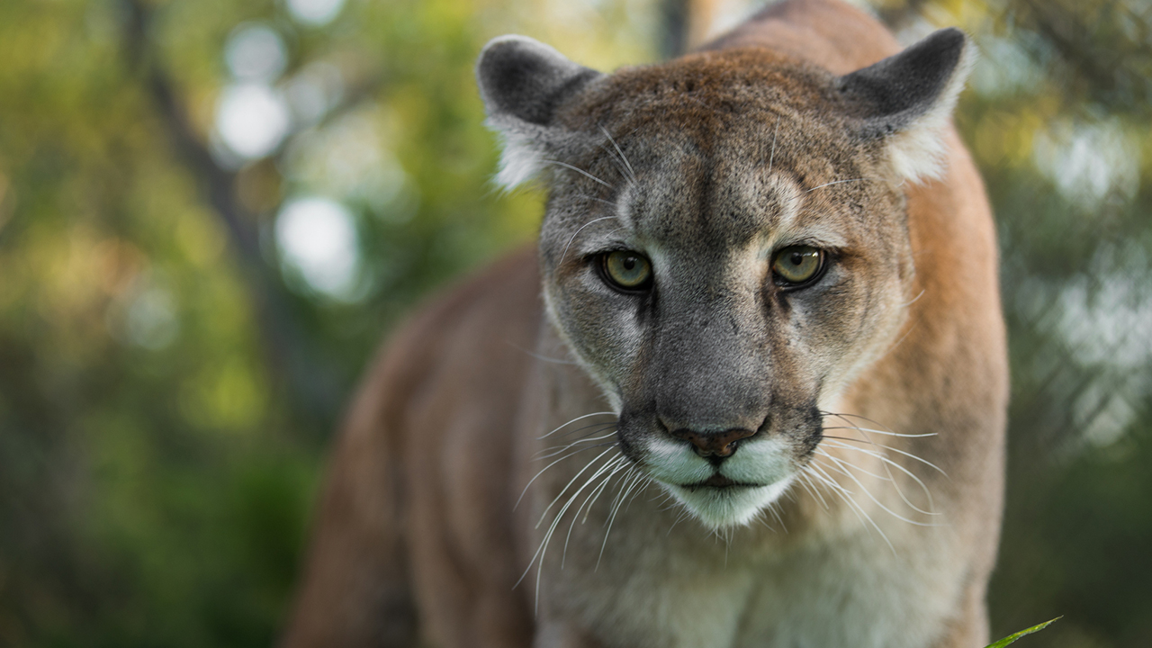 Westlake Legal Group mountain-lion-istock Mountain lion bites Colorado boy, 8, on head, injuries 'serious,' wildlife officials say Stephen Sorace fox-news/us/us-regions/west/colorado fox-news/science/wild-nature/mammals fox news fnc/us fnc ec16cc74-67fa-5e3d-b6e1-97116ae88aa0 article