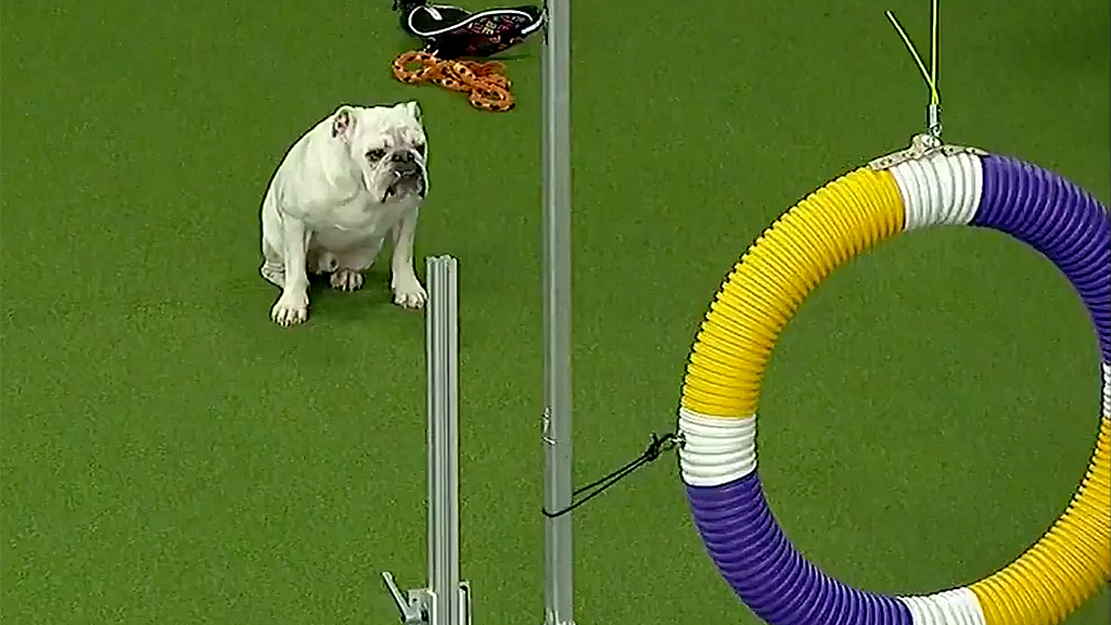 Rudy the bulldog's run at Westminster Kennel Club's agility contest goes viral