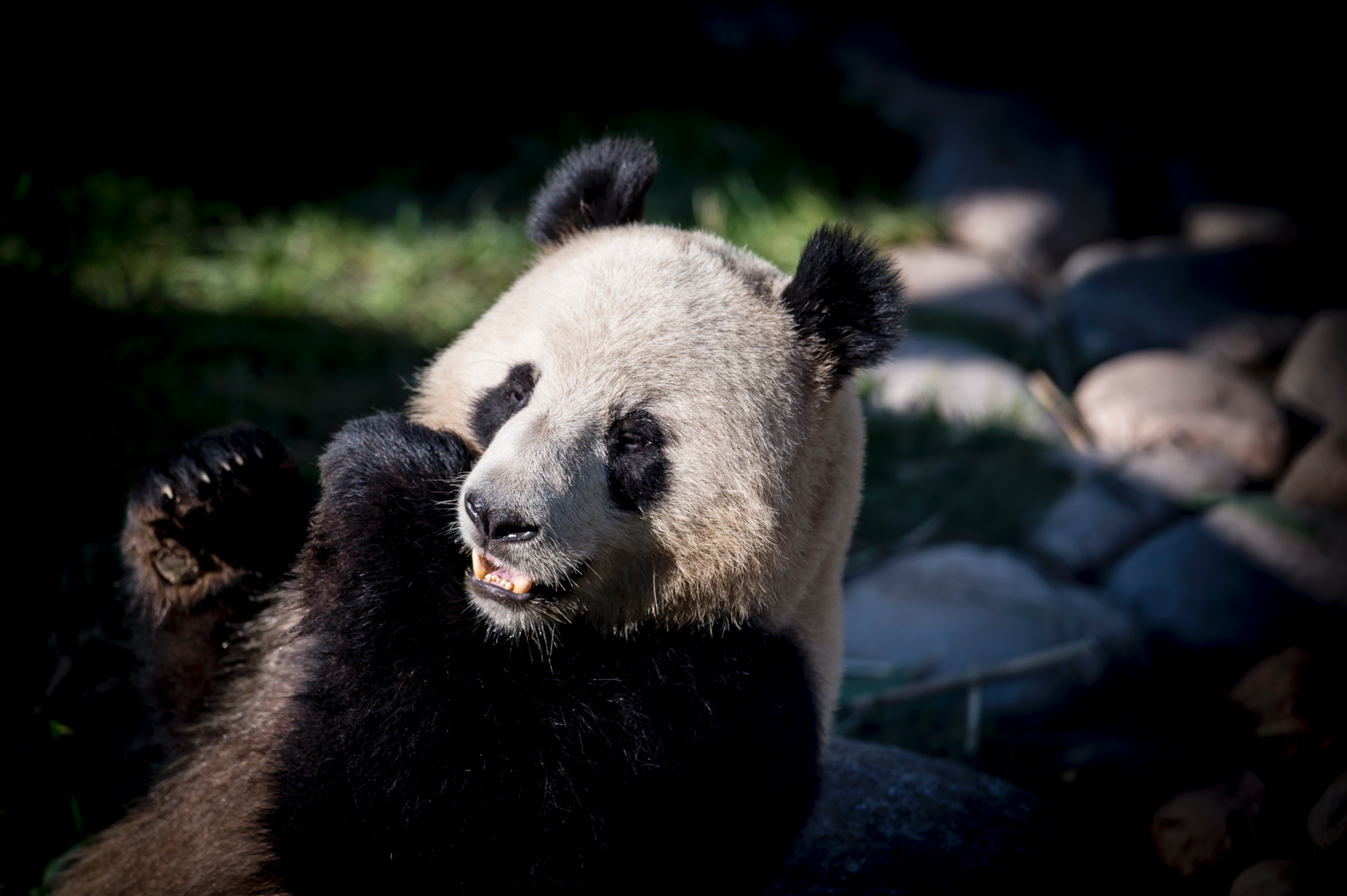 Danes rush to see pandas on loan from China