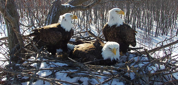 A bald eagle trio of two males and a female is successfully raising eaglets in Illinois