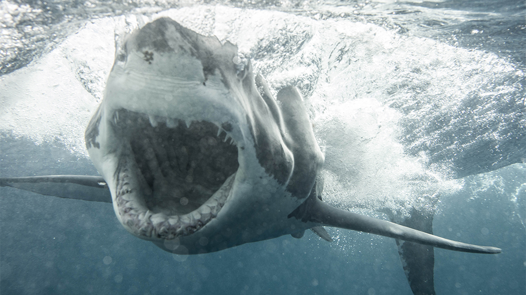 Westlake Legal Group Shark-1-KANE-OVERALL-MAGNUS-NEWS Great white shark weighing 2,137 pounds heading toward Outer Banks, researchers say fox-news/us/us-regions/southeast/south-carolina fox-news/us/us-regions/southeast/north-carolina fox-news/science/wild-nature/sharks fox-news/science/wild-nature fox news fnc/science fnc e3c208b6-fd32-5e34-9a26-955195a205fe article Ann Schmidt