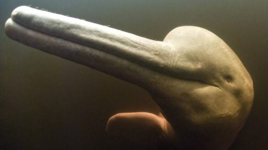 Rare footage of river dolphins helps scientists crack mystery of marine mammal communication - Fox News