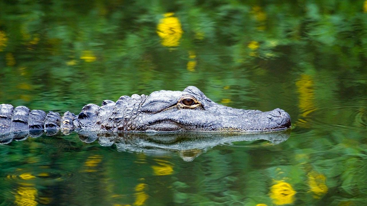 Alligator caught 'swimming' through flooded Florida roadway