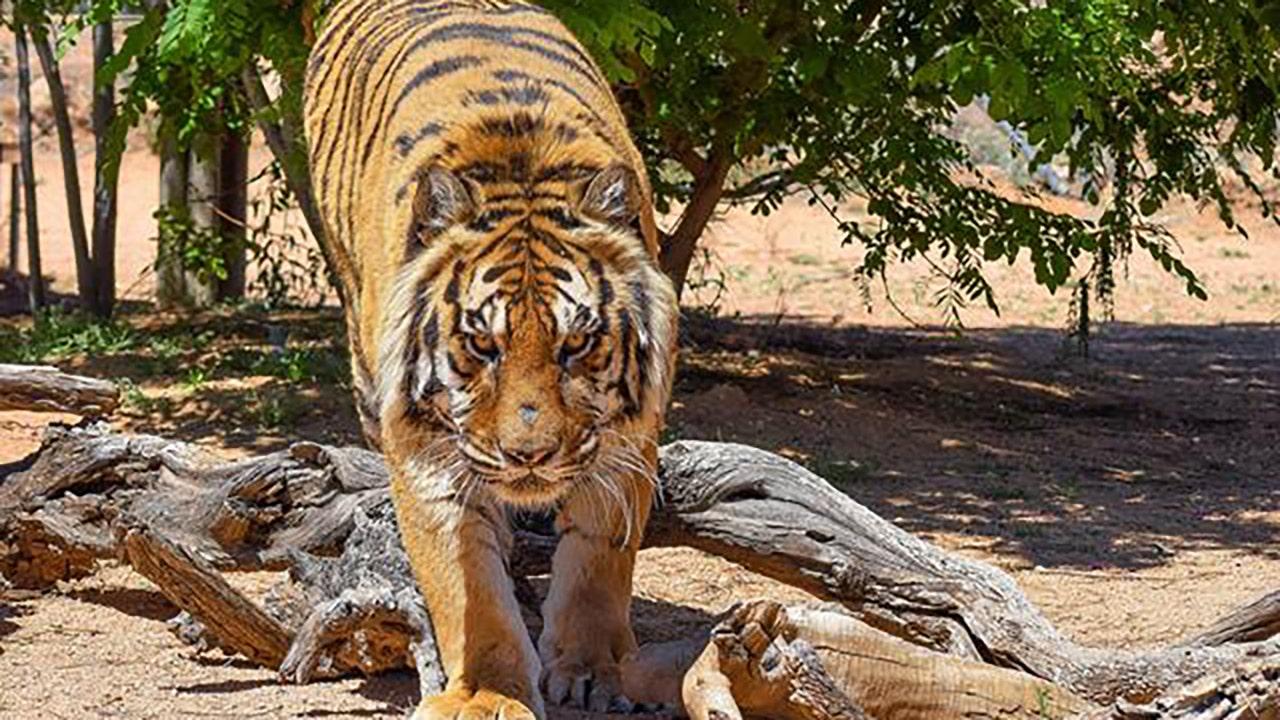 Dublin Zoo tiger 'Angriffe' junge -- nur gestoppt werden durch Glaswand