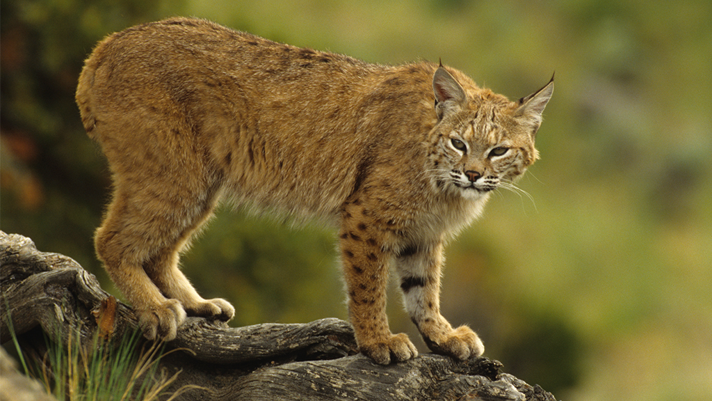 Westlake Legal Group bobcat-iStock Florida couple injured in possible bobcat attack Morgan Phillips fox-news/us/us-regions/southeast/florida fox-news/science/wild-nature fox news fnc/us fnc e5452136-28c6-5845-b332-015061a29643 article